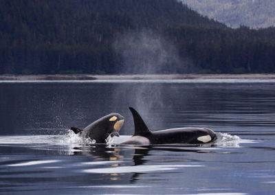 vancouver-orca-whales